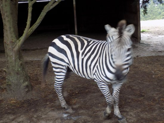 Point Arena, Калифорния: One of the young Zebras