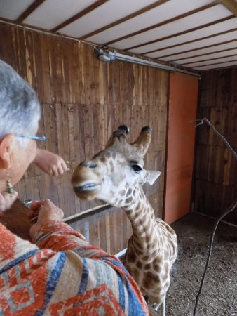 Point Arena, Калифорния: A balcony allows visitors to get up close to feed giraffes