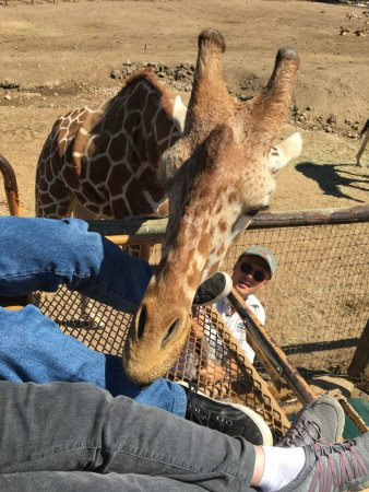 Safari West: Up close and personal with giraffe