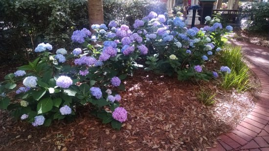 Marriott's Barony Beach Club: Gorgeous landscaping. Loved seeing these glorious hydrangeas daily.