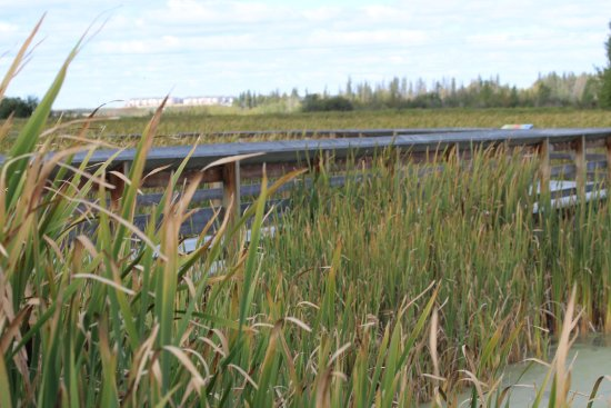 St. Albert, Canadá: The boardwalk meanders through a wetland/marsh area that is full of birds and other wildlife.