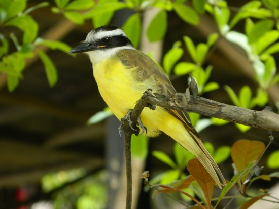 Amazonia Expeditions' Tahuayo Lodge: A friendly Greater Kiskadee at the Amazon Research Center