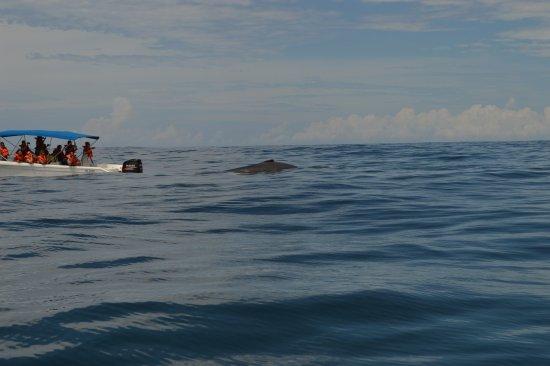 Доминикаль, Коста-Рика: Up close with the humpbacks
