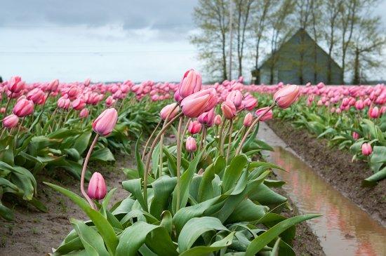 Mount Vernon, WA: Skagit Valley Tulip Festival