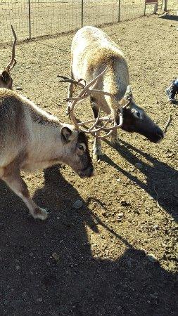 Reindeer Farm: IMAG8108_large.jpg