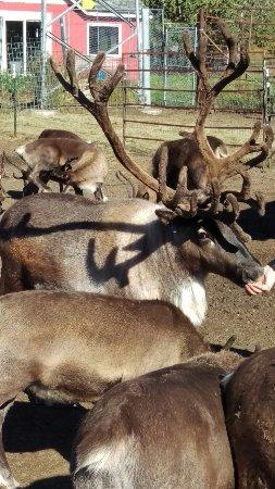 Reindeer Farm: IMAG8093_large.jpg