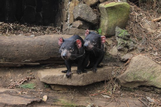 Taranna, Австралия: Tasmanian Devils