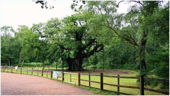 Nottinghamshire, UK: Major Oak - the 100 plus year old oak tree said to be the 'lounge' of Robin and his merry men!