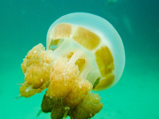 this is typical golden jelly fish (non poisonous) - Picture