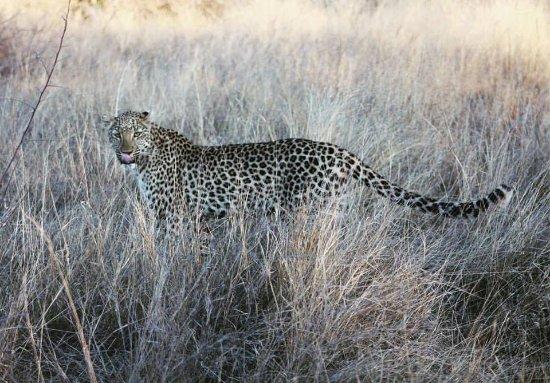 Thabazimbi, Güney Afrika: enjoy our beautiful leopard Bagheera