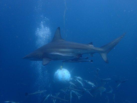 Umkomaas, Sudafrica: Shark Dive Aliwal shoal