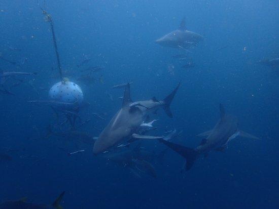 Umkomaas, Sudáfrica: Shark Dive