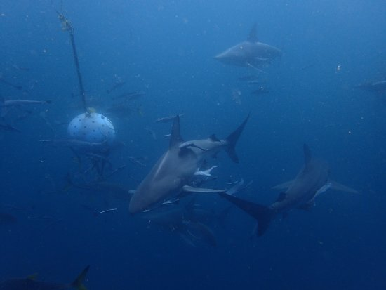 Umkomaas, แอฟริกาใต้: Shark Dive