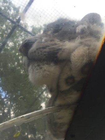 Milnthorpe, UK : Gorgeous snow leopards. See how close you can get to them under the tunnel.