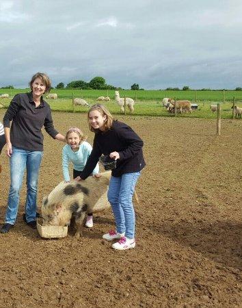 Golant, UK: Dando de comer a los cerdos!