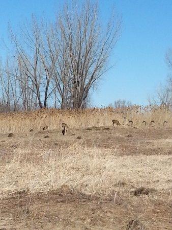 Parc Des Iles de Boucherville : Les cerfs de Virginie