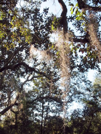 Folkston, GA: Spanish moss