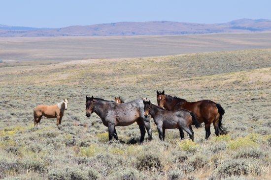 Lander, WY: Wild Horses on the desert