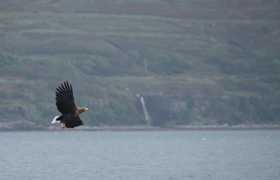 Taynuilt, UK: Again White Tailed Eagle making off with fish