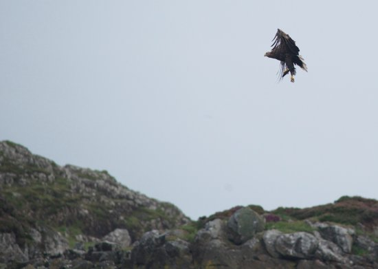Taynuilt, UK: White Tailed Eagle