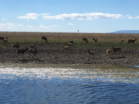 Columbia River Journeys: A herd of deer on one of the islands