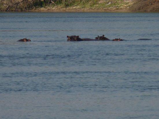 Katima Mulilo, Namibië: Hippos im Sambesi
