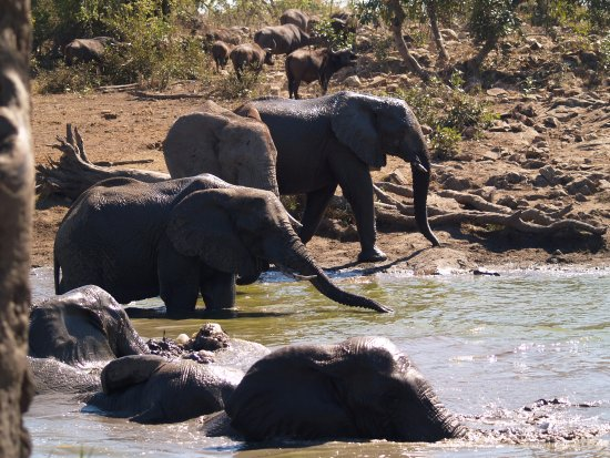 Punda Maria Restcamp: Elephants cooling off at Klopperfontein Dam