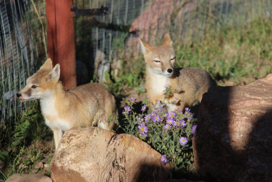 Divide, CO: Swift foxes near the entrance...a declining species that is seeking protection