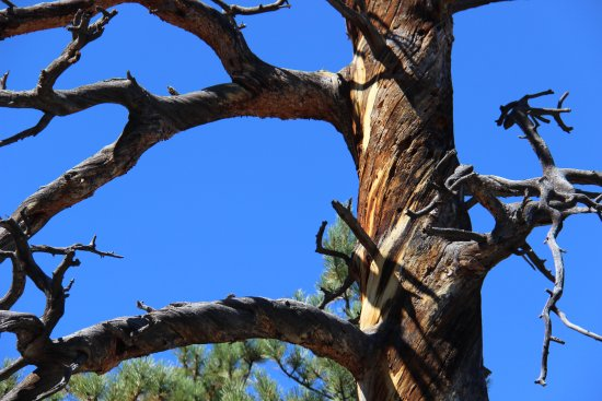 Florissant, CO: the twisted trunk to withstand winds