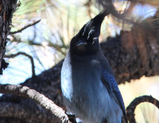 Florissant, Κολοράντο: stellars jay that frequents the picnic area near the visitors center