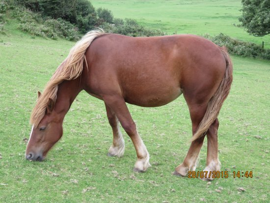 Shire Horse Farm and Carriage Museum: Suffolk Punch Mare