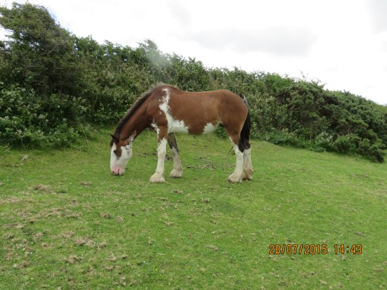 Shire Horse Farm and Carriage Museum: Clydsdale gelding