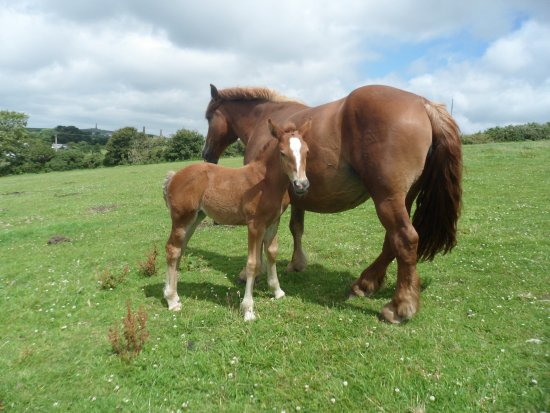 Shire Horse Farm and Carriage Museum: Suffolk Punch Mare and Foal