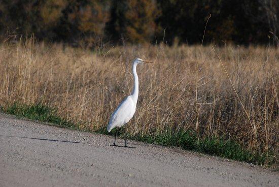Colusa, Καλιφόρνια: Egret