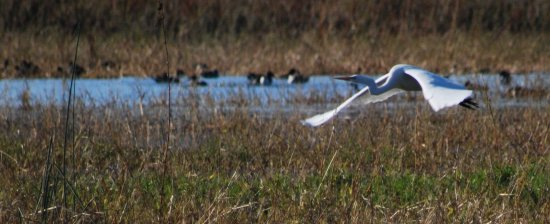 Colusa, CA: Egret in flight