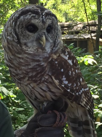 Glen Ellyn, Илинойс: The barred owl that the man was walking around with.