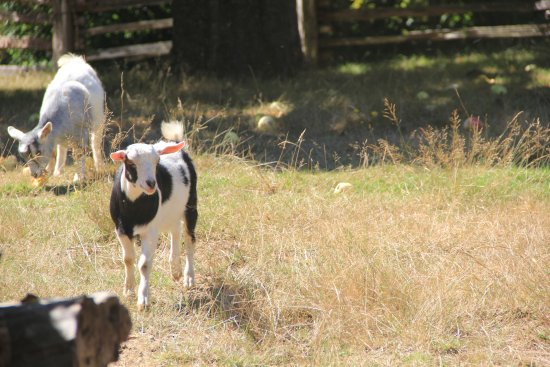 Alsea, OR: the baby goats