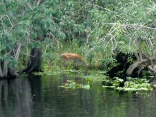 DeLand, FL: St. Johns River Tour - Deer grazing