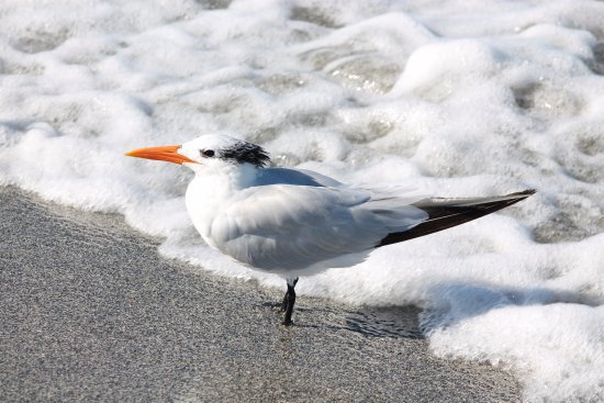 Venice Municipal Beach: Royal Tern in surf