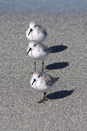 Venice Municipal Beach: Sanderling Trio