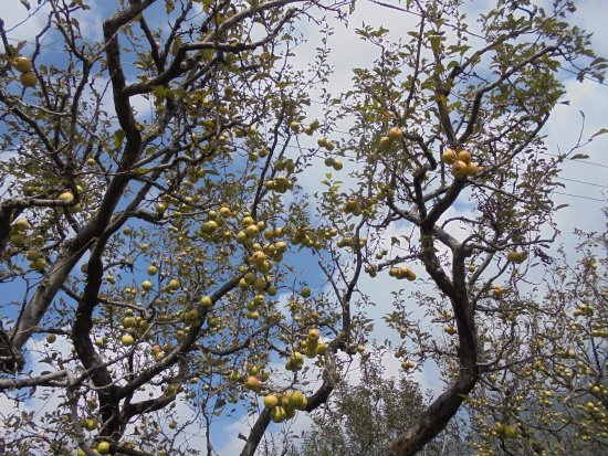 Krish Rauni: Apple orchard