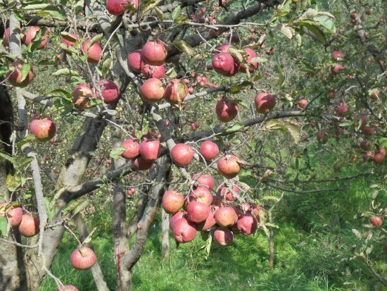 Krish Rauni: Apples