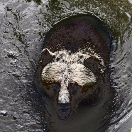 แอลเดอร์โกรฟ, แคนาดา: Grizzly