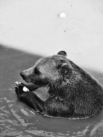 Greater Vancouver Zoo: Grizzly