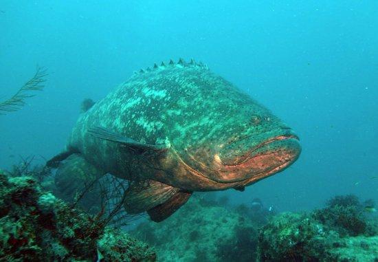 Jupiter, FL: Grouper on the wrecks