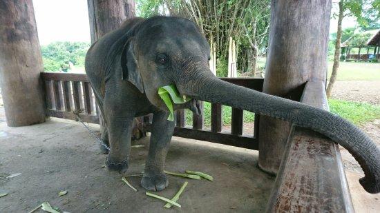 Ban Xieng Lom, Laos: Elephant Village