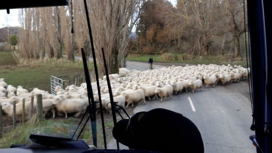 Taihape, New Zealand: NZ traffic jam down settlers road