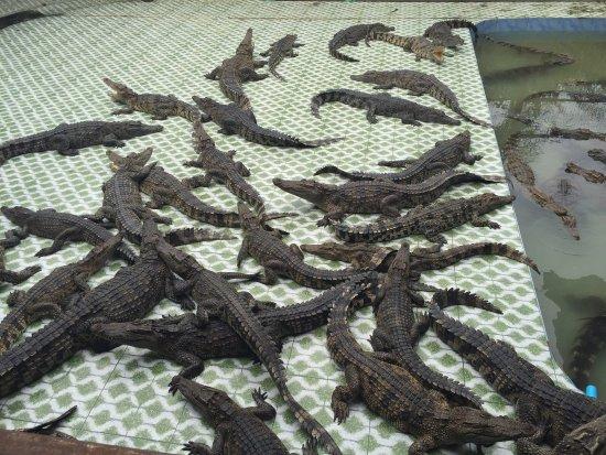 Maerim Crocodile Show