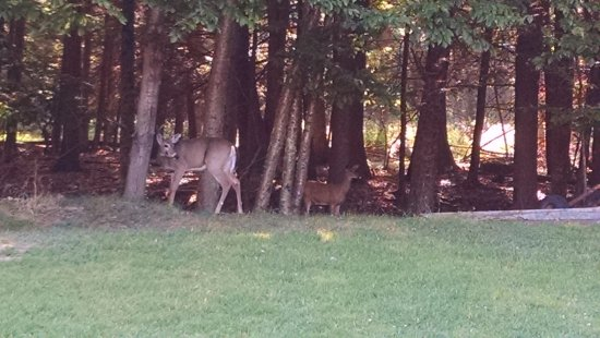 Cove Haven Resort: deer coming out of the woods for feeding
