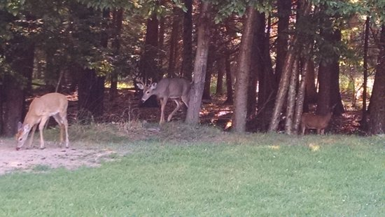 Cove Haven Resort: deer coming out of the woods